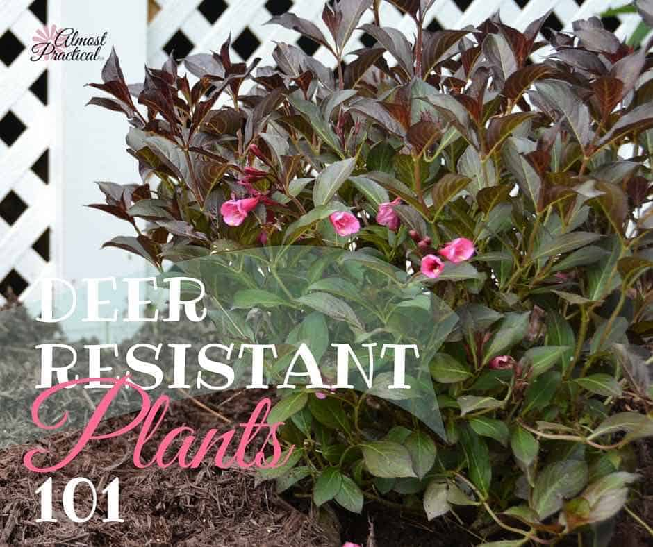Deer Resistant Plants | Gardening tips to keep the deer away from your flowers and bushes.